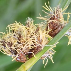 Bolboschoenus maritimus (L.) Palla (Scirpe maritime)