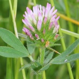 Trifolium squarrosum L. (Trèfle raboteux)