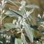 Marie  Portas - Elaeagnus angustifolia L. [1753]