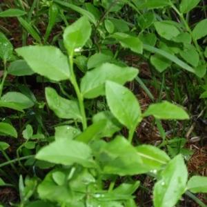 Photographie n°130239 du taxon Vaccinium myrtillus L.