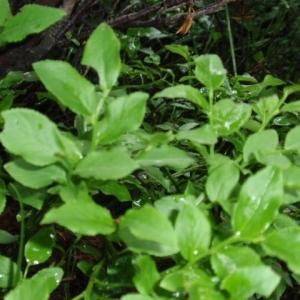 Photographie n°130240 du taxon Vaccinium myrtillus L.