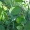 Pierre Bonnet - Lunaria annua L.