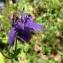 Pierre Bonnet - Aquilegia vulgaris L. [1753]