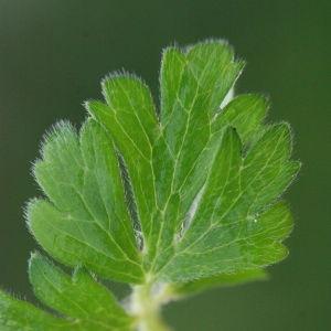 Photographie n°130395 du taxon Ranunculus bulbosus L. [1753]