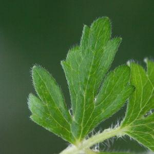 Photographie n°130396 du taxon Ranunculus bulbosus L. [1753]