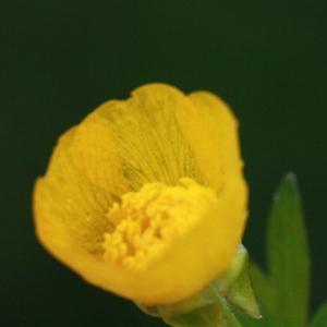 Photographie n°130405 du taxon Ranunculus bulbosus L. [1753]