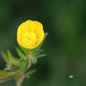 Photographie n°130406 du taxon Ranunculus bulbosus L. [1753]