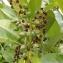 Pierre Bonnet - Prunus laurocerasus L.