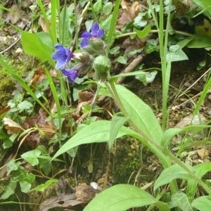 Photographie n°131710 du taxon Pulmonaria officinalis L.