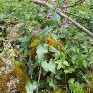 Photographie n°132044 du taxon Lunaria rediviva