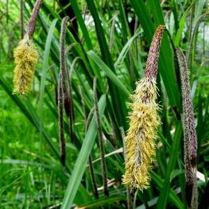 Carex pendula Huds. [1762] (Laiche à épis pendants)