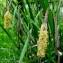 Inge WULLWEBER - Carex pendula Huds. [1762]