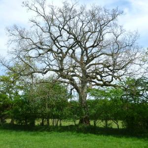 Quercus x andegavensis Hy (Chêne)