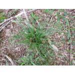 Luzula forsteri (Sm.) DC. subsp. forsteri (Luzule de Forster)