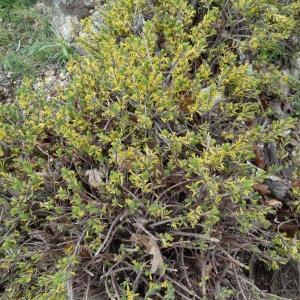 Photographie n°132295 du taxon Thymelaea dioica (Gouan) All. [1789]
