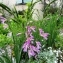 Serge CEYTE - Gladiolus communis proles dubius (Guss.) Rouy [1912]