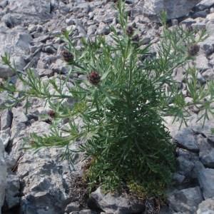 Photographie n°132398 du taxon Centaurea corymbosa Pourr. [1788]