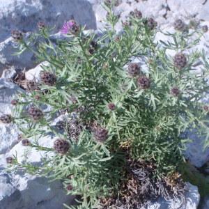 Photographie n°132401 du taxon Centaurea corymbosa Pourr. [1788]