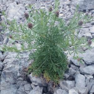 Photographie n°132403 du taxon Centaurea corymbosa Pourr. [1788]
