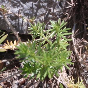 Photographie n°132404 du taxon Galium lucidum