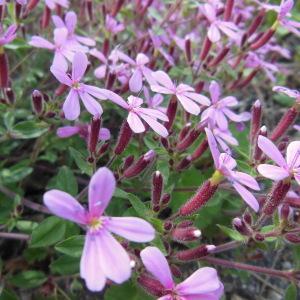 Photographie n°132497 du taxon Saponaria ocymoides