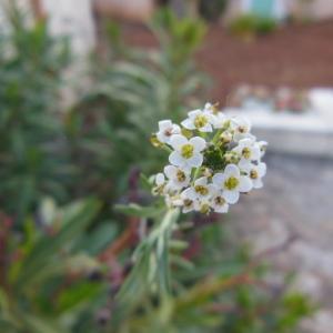 Photographie n°132502 du taxon Lepidium heterophyllum