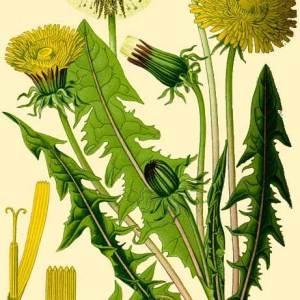 Photographie n°132521 du taxon Taraxacum officinale Weber [1780]