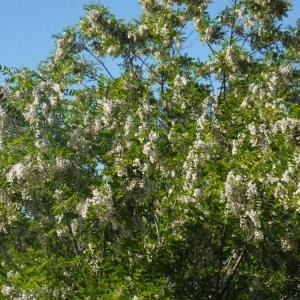 Photographie n°132546 du taxon Robinia pseudoacacia L.