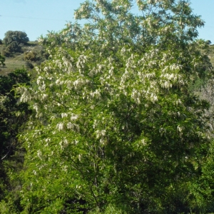 Photographie n°132547 du taxon Robinia pseudoacacia L.