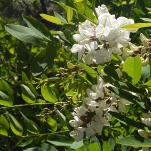 Photographie n°132548 du taxon Robinia pseudoacacia L.