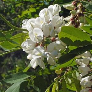 Photographie n°132549 du taxon Robinia pseudoacacia L.