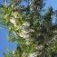 Liliane Roubaudi - Robinia pseudoacacia L.