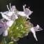 Liliane Roubaudi - Thymus vulgaris L.