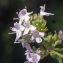 Liliane Roubaudi - Thymus vulgaris L. [1753]
