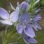 Liliane Roubaudi - Veronica austriaca subsp. teucrium (L.) D.A.Webb [1972]