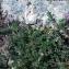Liliane Roubaudi - Astragalus echinatus Murray [1770]