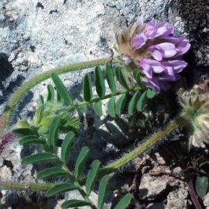 Photographie n°132622 du taxon Astragalus echinatus Murray