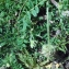 Liliane Roubaudi - Astragalus echinatus Murray