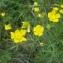 Nicolas Sennavoine - Ranunculus repens L. [1753]