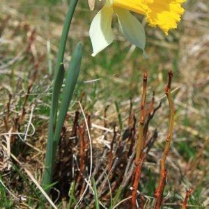Photographie n°132650 du taxon Narcissus bicolor L. [1762]