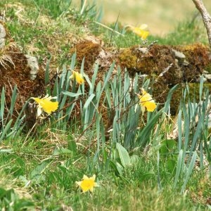 - Narcissus bicolor L. [1762]