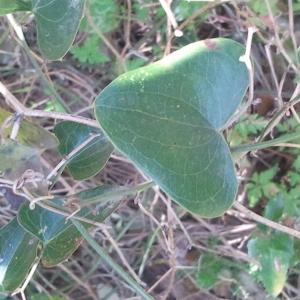 Photographie n°132750 du taxon Smilax aspera L. [1753]