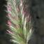 Liliane Roubaudi - Trifolium angustifolium L. [1753]