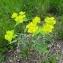 Cédric BEAUVAL - Euphorbia serrata L. [1753]
