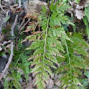 Photographie n°132950 du taxon Asplenium adiantum-nigrum L.