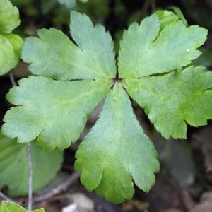 Photographie n°132999 du taxon Sanicula europaea L.
