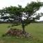 Pol Califice - Sorbus domestica L. [1753]