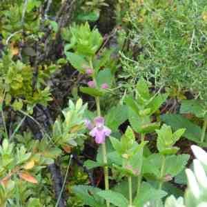 Photographie n°133071 du taxon Melittis melissophyllum L. [1753]