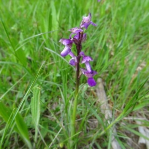 Orchis mascula (L.) L. subsp. mascula (Orchis mâle)