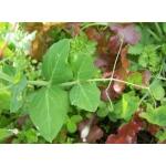 Lathyrus oleraceus Lam. subsp. oleraceus var. oleraceus